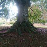 Hêtre centenaire dans le parc du château