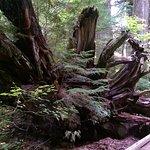 Grove of the Patriarchs Foto