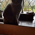 Lucy the beautiful British Short Haired kitty