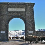 Entrance to Yellowstone National Park with Bison