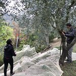 Collecting CASA ROSA olives