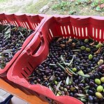 The 2016 olive harvest from CASA ROSA
