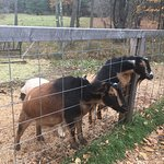 Pictures of a few of the animals you will see at Sugarbush Farm...