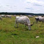 Hungarian Grey Cattle in Őrség region