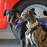 The Greyhounds posing in front of the fire truck. They are very pet friendly!