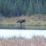 Moose at the Lake... 5 min walk away