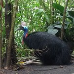 Young Female Cassowary