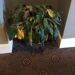 Dead plants in lobby area