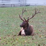 An Elk taking life easy in the Catlahoochie Park, NC