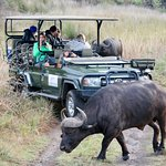 A close encounter with buffalo on our game drive