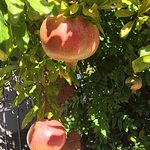 Pomegranate tree on grounds