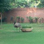 The omnipresent emu