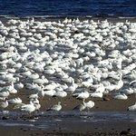 Snow geese in La Baie
