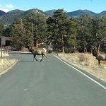 Elk crossing the road in YMCA of the Rockies