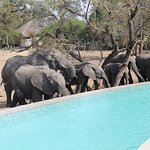 Watch elephants drink from a trough around the swimming pool
