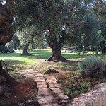 The olive groves at Agriturismo Tenuta Chianchizza