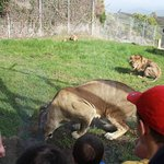 Feeding the lions