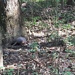 Armadillo rooting around at the base of a tree.