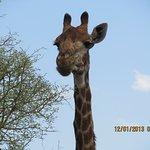 Giraffes in abundance