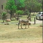 Zebras auf Besuch vor dem Bungalow!