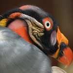 "King Vulture. Pishimatakoa- meaning ""Rainbow"" in Comanche. Native to Central and South America"