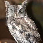 Eastern Screech Owl. Injury to one eye due to possible car collision.