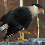 Falcon- Crested Caracara. Native to parts of US and Mexico.