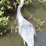Great blue heron stands 4 feet tall!