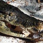 Crocodile at feeding time