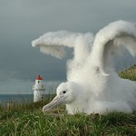 Royal Albatross Chick on Nature Reserve