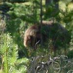 Auf der Fahrt von Jasper zum Patricia Lake sieht man häufig Bären.