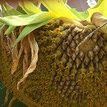 yes it's a real sunflower up close & personal!