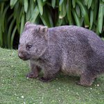 Wombat in the lighthouse grounds.