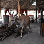 Eland dropping in for a drink