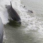 les dauphins qui suivent la trace du bateau
