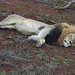 Lion during safari!