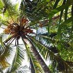 Coconut Trees in Garden