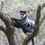 Colobus Monkey - during our guided excursion to the Neck