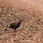 Handsome Francolin - a farewell gift on our taxi ride back to Kabale!