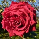 A beautiful rose still in bloom in the garden in November