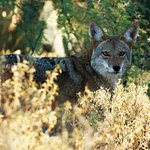 Coyote at back fence