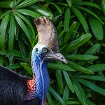 The endangered Southern Cassowary is a regular visitor in the park