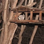 little night visitor-Bushbaby