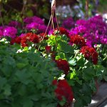 These geraniums will look beautiful until frost
