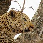 Leopard in Kruger Preserve