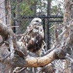 Keek, a rough-legged hawk