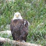 Josh, a one-winged Bald Eagle
