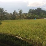 View of the rice fields right next to the hotel.