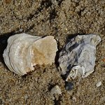 Wellfleet oyster (under size) in the sand at low tide beside Mac's