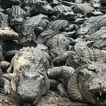 Literally, a gator pile. Many sizes, watch them eat!